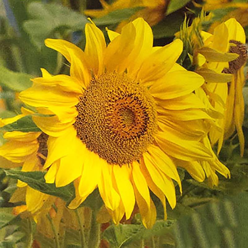 Solros, Sunflower Giant Single, Fröer till Solros Sunflower, Giant Single