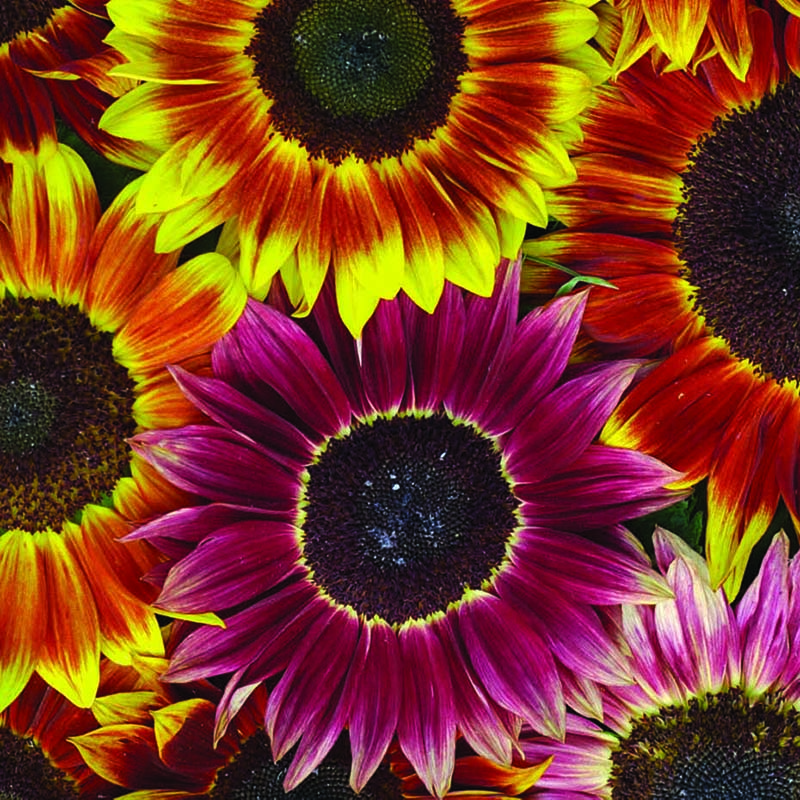 Solros, Sunflower Harlequin Mixed F1-Fröer till solros Sunflower, Harlequin Mixed F1