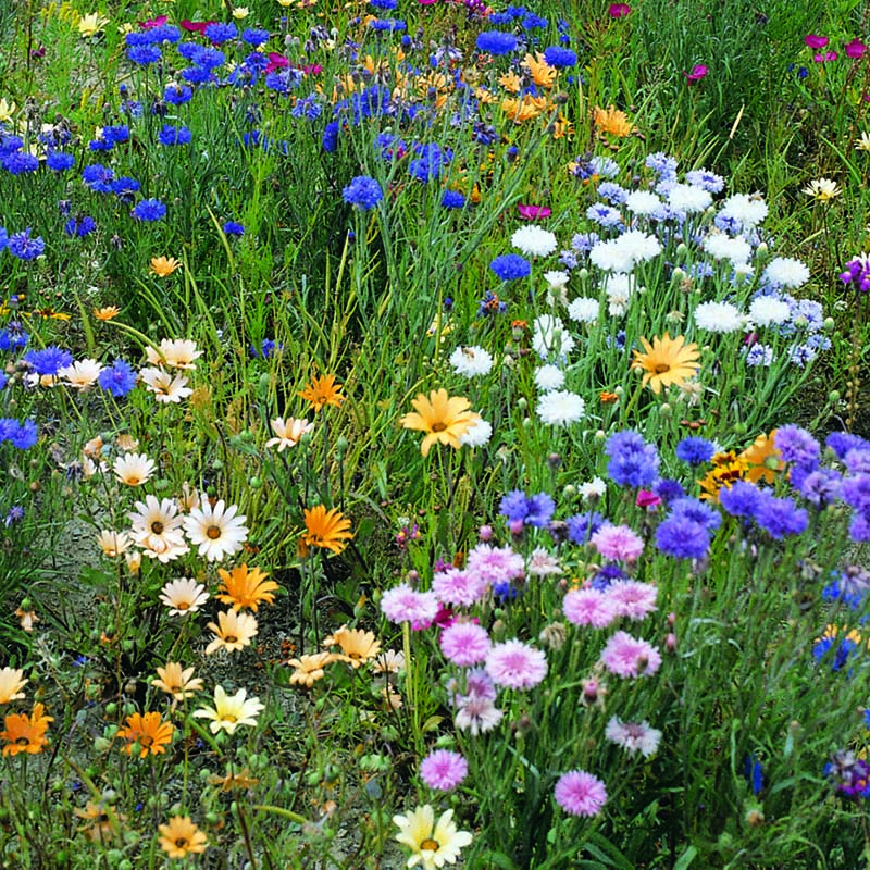 Vildblommor, Wild Flower Field & Hedge-row Mix-Frömix vildblommor till Wild Flower, Field & Hedge-Row Mix