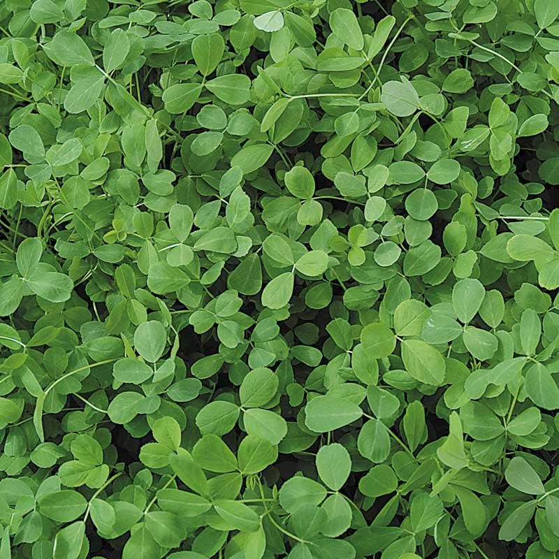 Gröngödsel, Alfalfa-Fröer till gröngödsel, Alfalfa