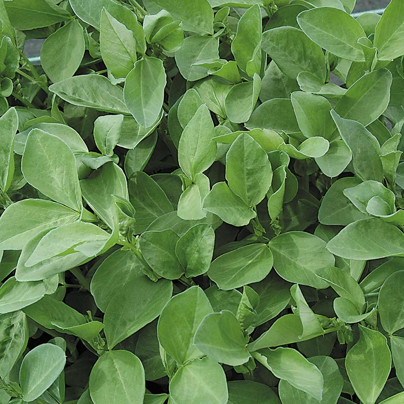 Gröngödsel, Bondböna/Field Beans-Fröer till gröngödsel, Bondböna/Field Beans