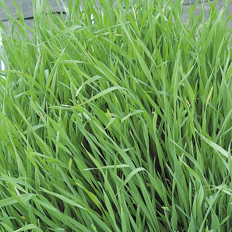 Gröngödsel - Råg/Grazing Rye, Fröer till gröngödsel, Råg/Grazing Rye