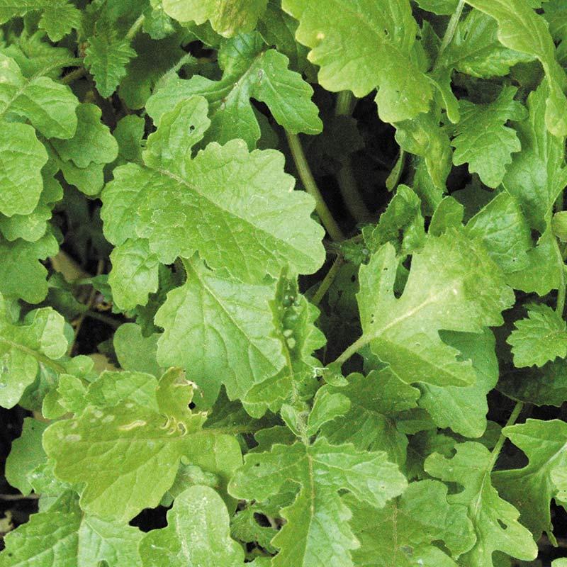 Gröngödsel - Vitsenap/Mustard-Fröer till gröngödsel, Vitsenap/Mustard