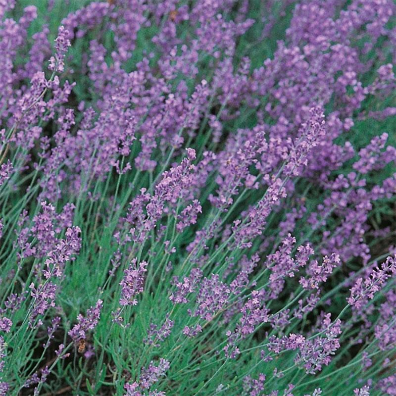 Lavendel, Vera-Frö till Lavendel, Vera från Suffolk Herbs