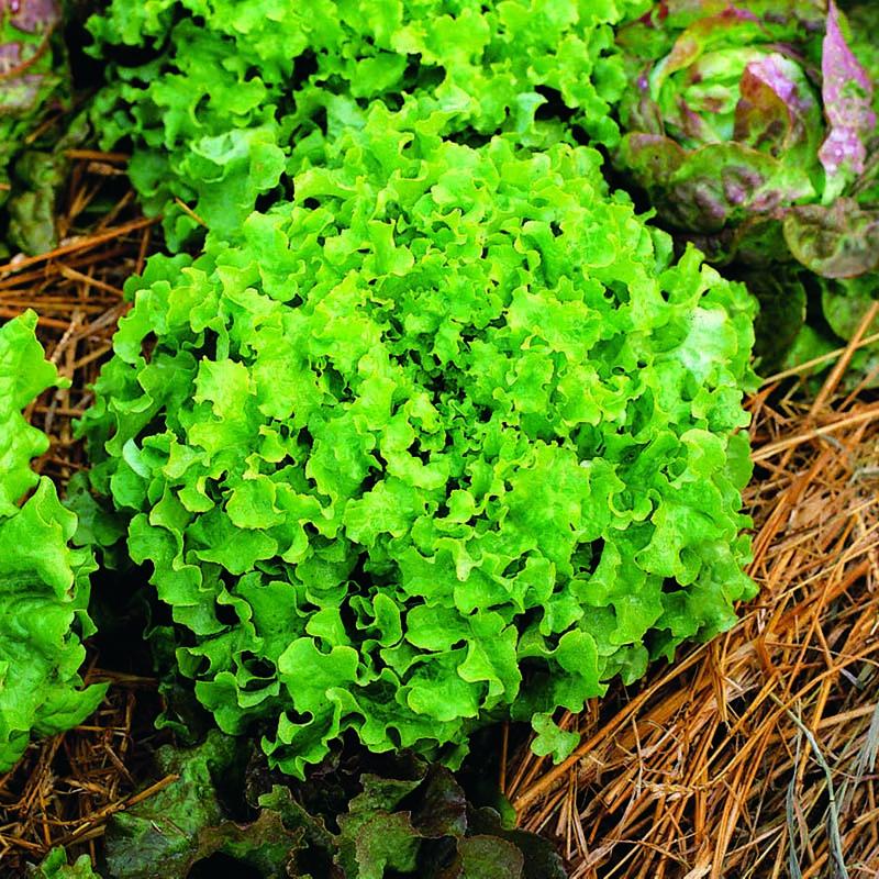 Sallad, Salad Bown Green-Fröer till Sallad, Salad Bown Green