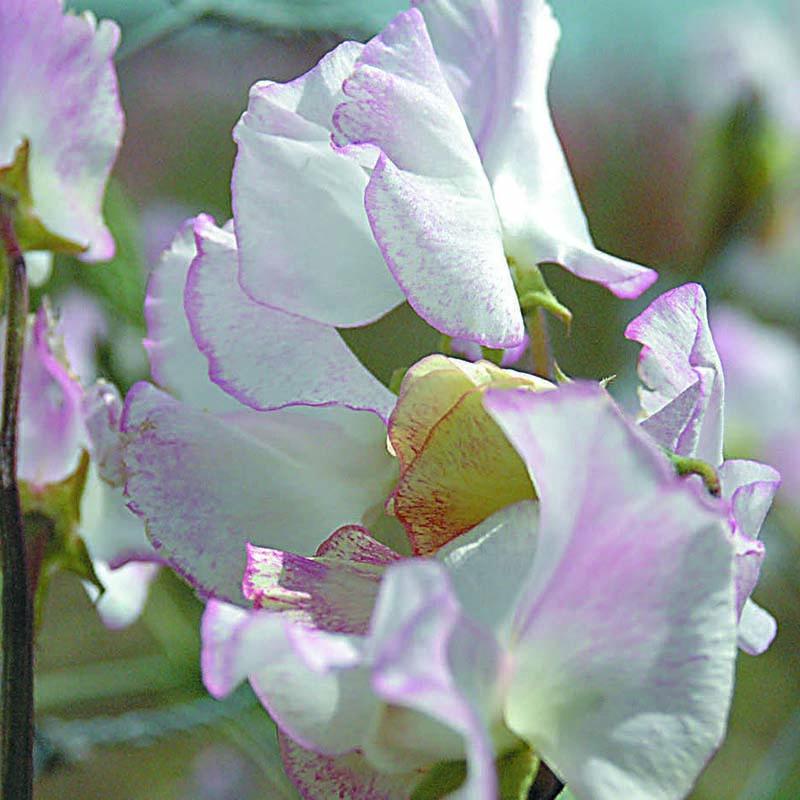 Fröer till luktärter av sorten cirrus