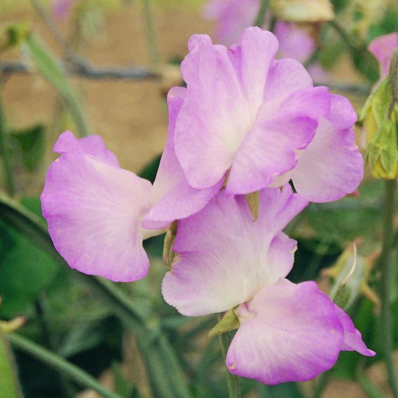 Luktärt, Gwendoline-Fröer till luktärter av sorten gwendoline