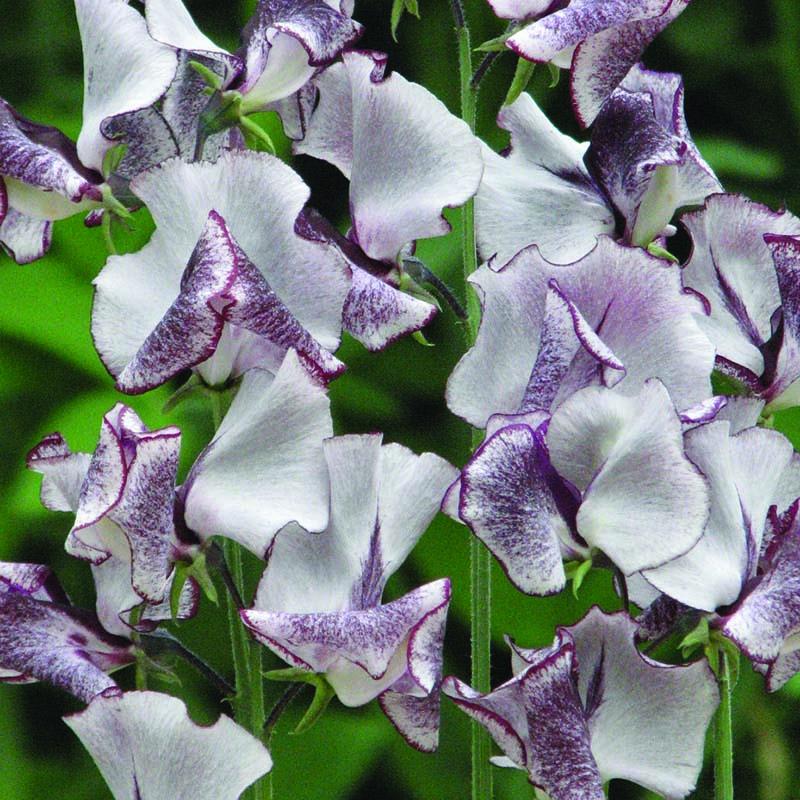 Luktärt, Nimbus-Fröer till luktärter av sorten nimbus