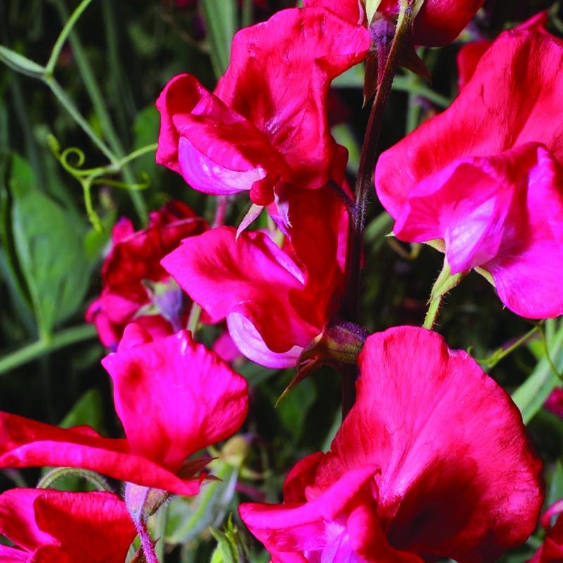 Luktärt, Red Ensign-Fröer till luktärter av sorten red ensign