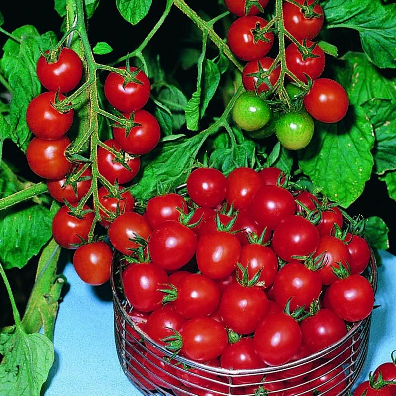 Tomat, Gardeners Delight-Fröer till Tomat, Gardeners Delight