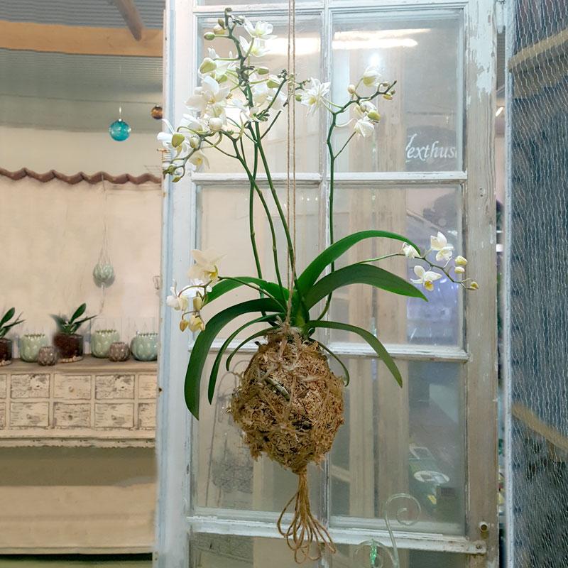 Oasis använt i en mossboll och orkide - kokedama