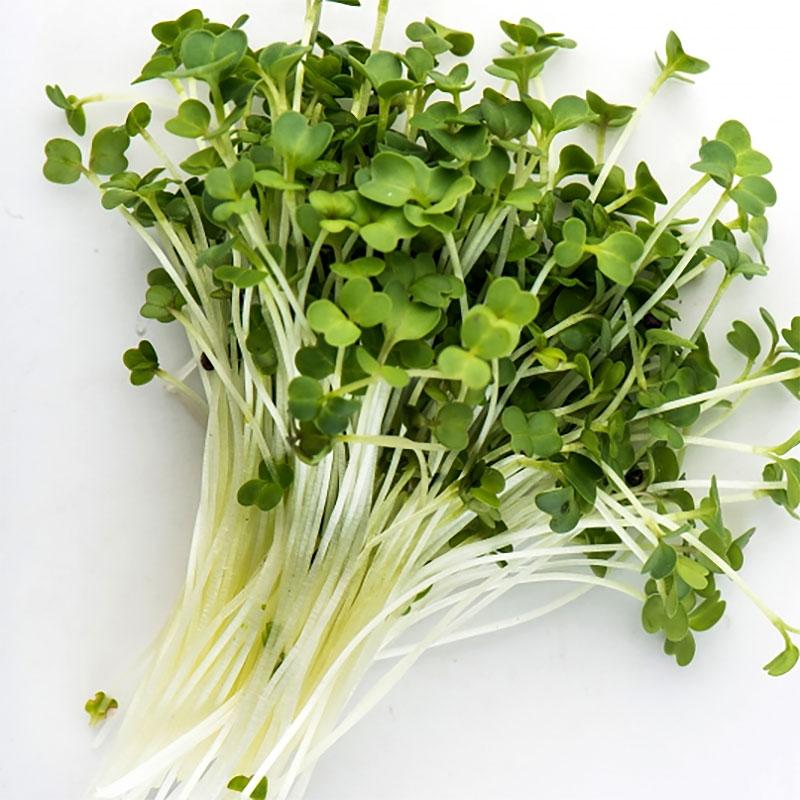 Groddfrö Broccoli Rapini, Ekologiskt frö till groddning och skott Broccoli Rapini