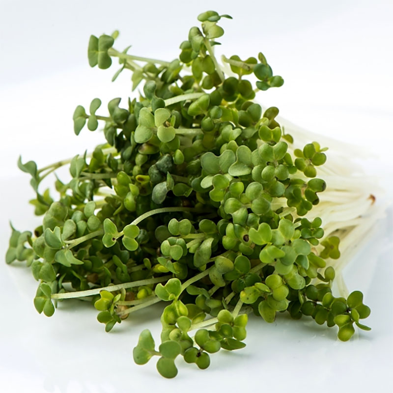 Groddfrö Senap Oriental - hotter!-Ekologiskt frö till groddning och skott Senap Oriental Hotter