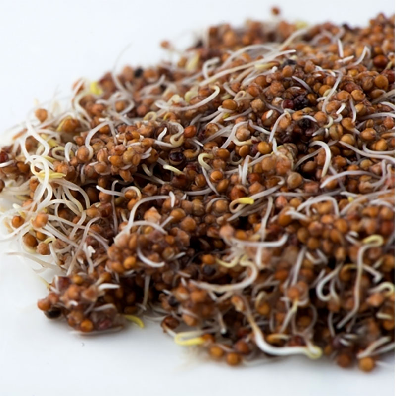 Groddfrö Kaniwa, Ekologiskt frö till groddning och skott kaniwa