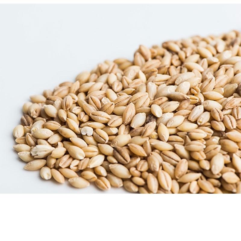 Korngroddar utan skal, Ekologiskt frö till groddning och skott korn utan skal
