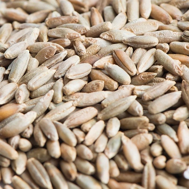 Rågfrö till groddning och skott-Ekologiskt frö till groddning och skott råg