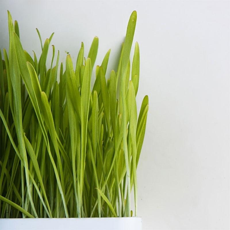 Groddfrö korn med skal-Ekologiskt frö till groddning och skott kron med skal