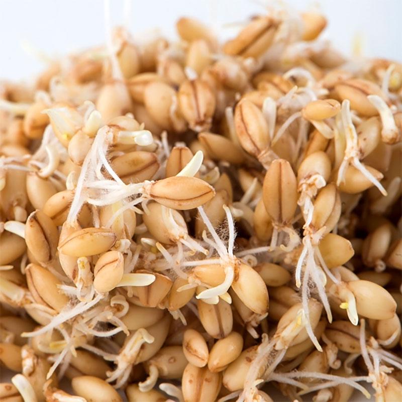 Korngroddar utan skal-Ekologiskt frö till groddning och skott korn utan skal