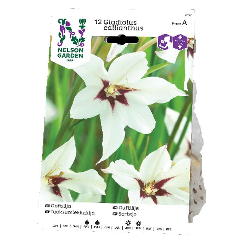 Lökar till Doftlilja, Gladiolus murielae, vit