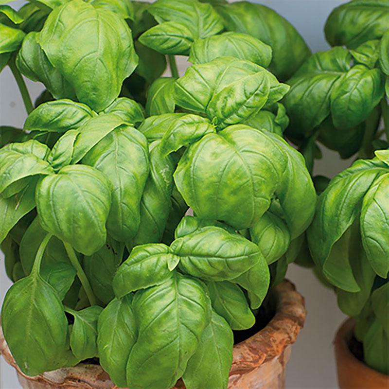 Odlingsset, Easy To Grow, Herb, odlingsset för fröer - herb