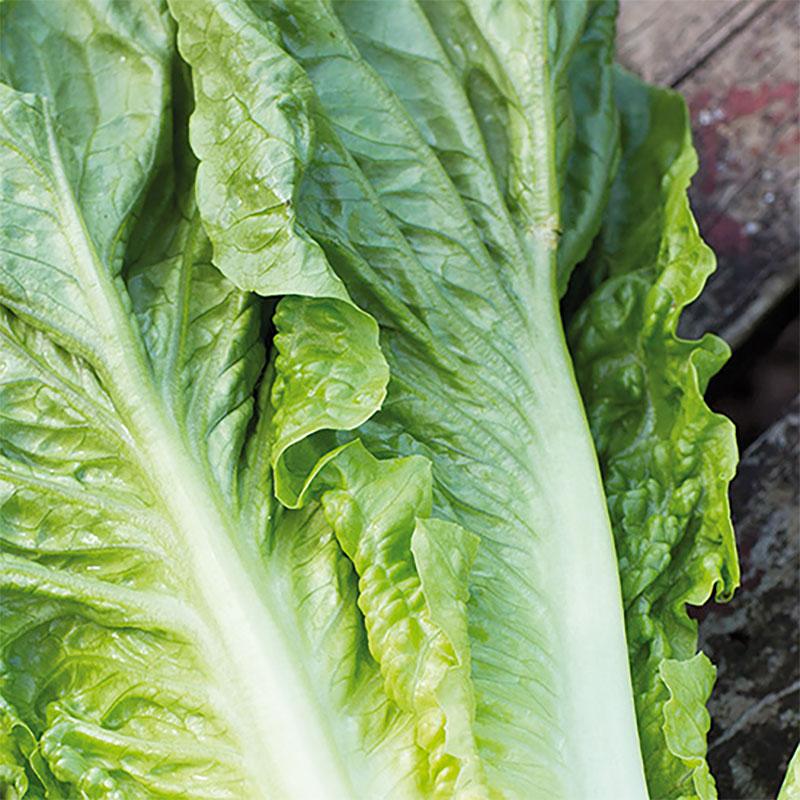 Odlingsset, Easy To Grow,  Roman, Odlingsset för fröer - sallader