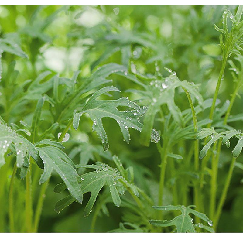 Micro leaf, Grönkål 'Jagallo Nero'-Frö till mikroblad grönkål