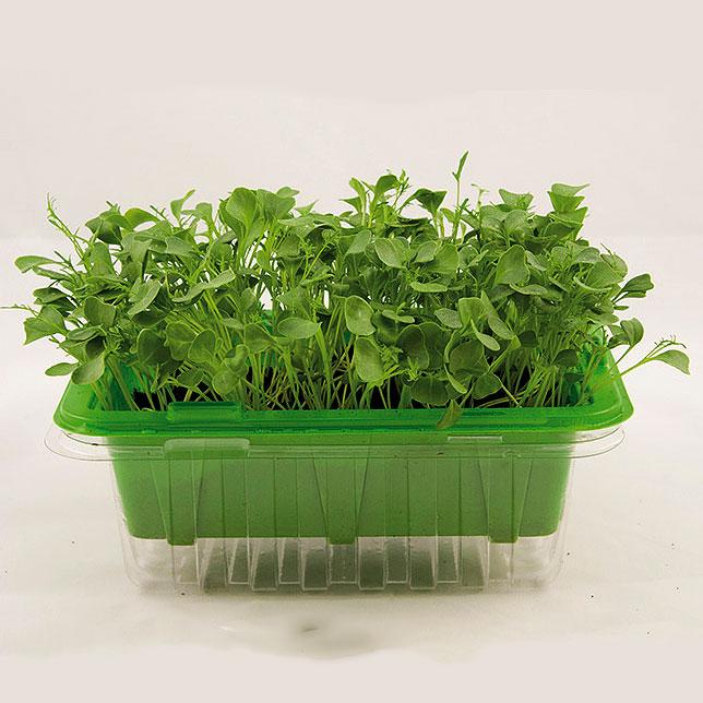 Frö till grönkål, micro leaf