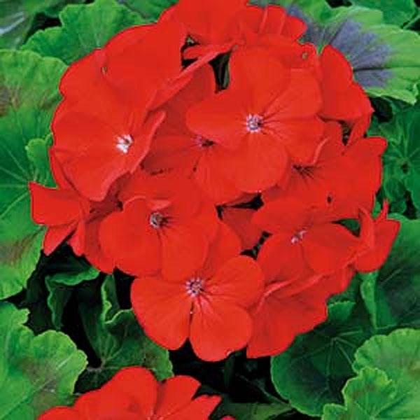 Pelargon Inspire Scarlet F1-frö till Pelargon Inspire Scarlet F1