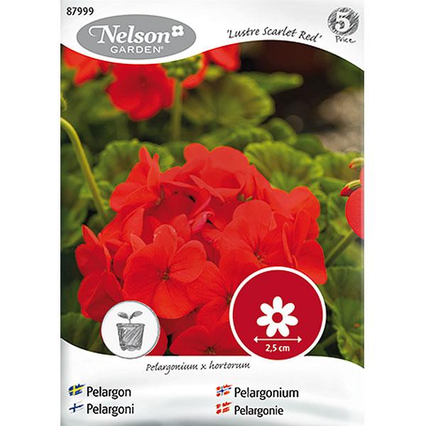 Pelargon Lustre Scarlet, Red,