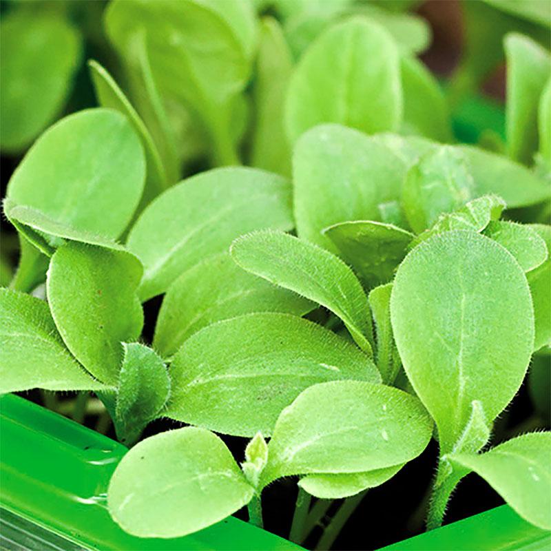 Micro leaf, Gurkört-Frö till mikroblad gurkört