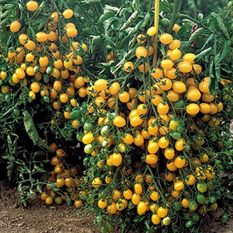 Körsbärstomat, Ildi-Frö till den gula körsbärstomaten Ildi