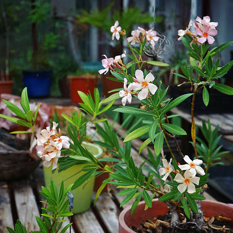 Krukväxt, Nerium Oleander