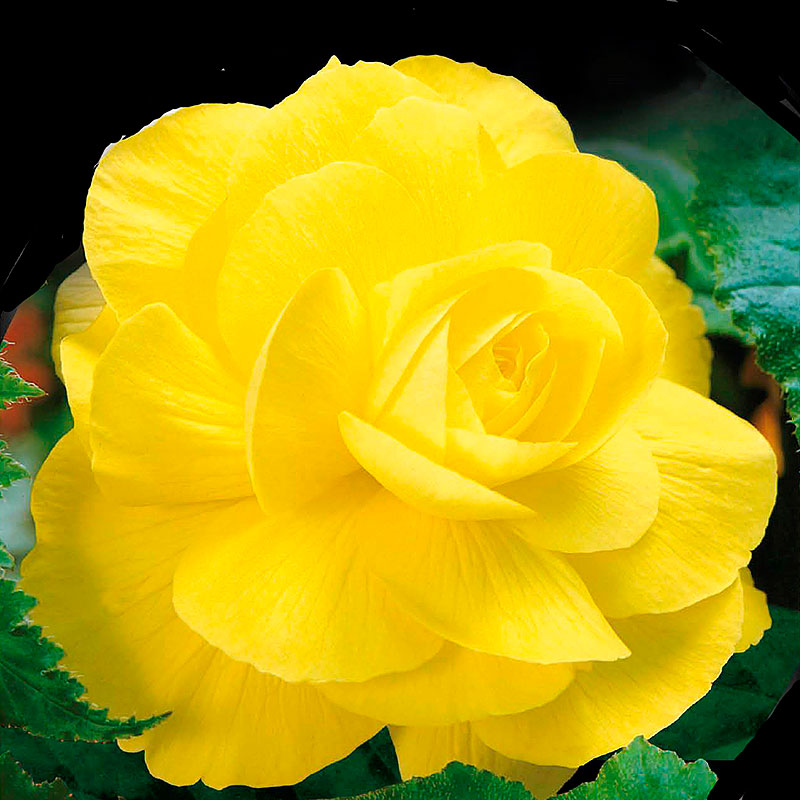 Begonia, Double Yellow-Begonia tuberhybrida