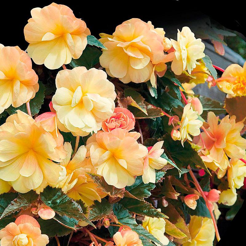 Hängbegonia, Illumination Apricot-Begonia pendula cascade