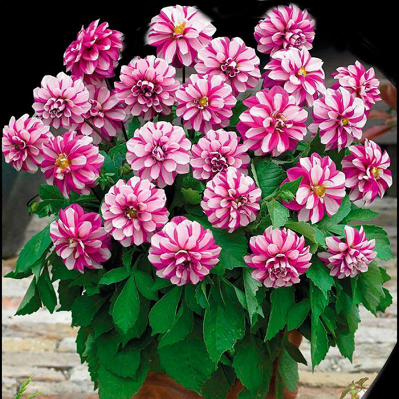 Dahlia, Priceless Pink-Knöl till dahlia Priceless Pink