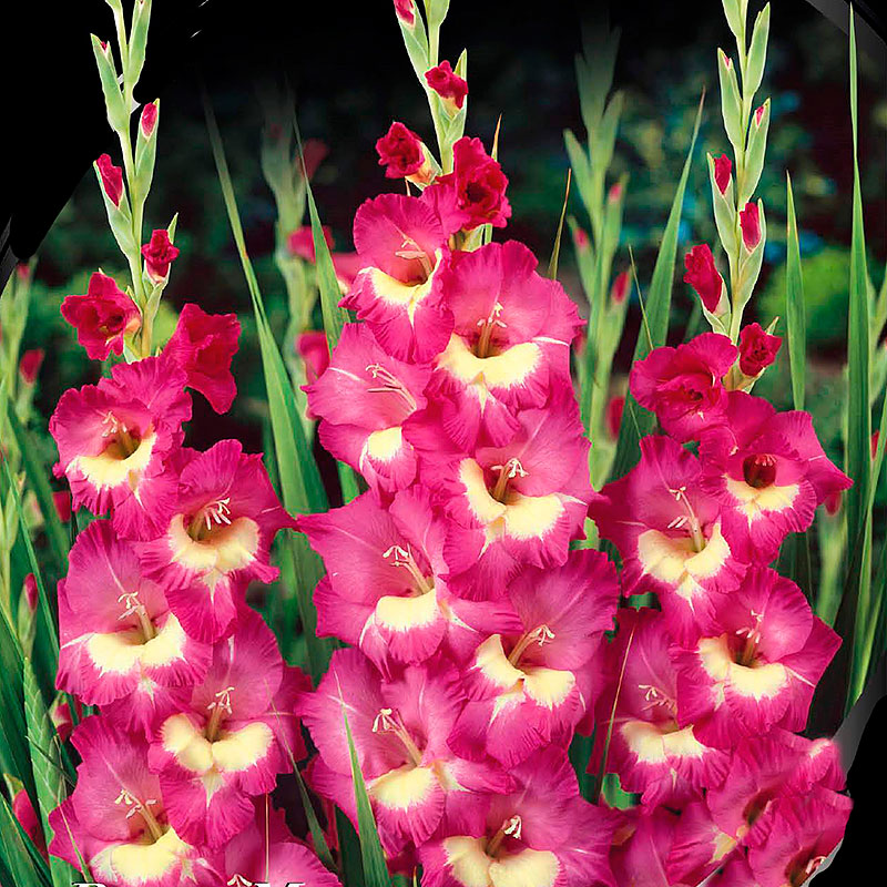 Gladiolus, Bono's Memory-Knölar till gladiolus Blue Bono's Memory