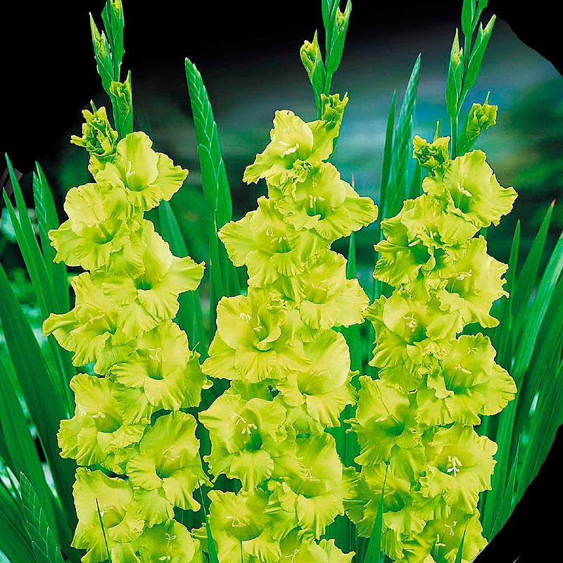 Gladiolus, Green Star, Knölar till gladiolus Green Star