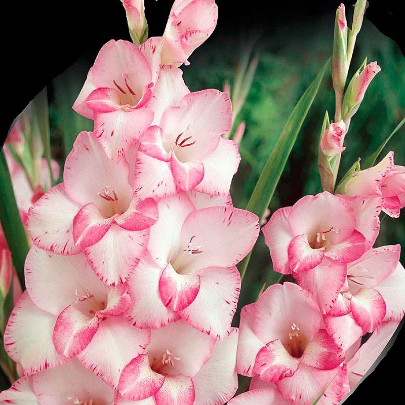Gladiolus, My Love, Knölar till gladiolus My Love