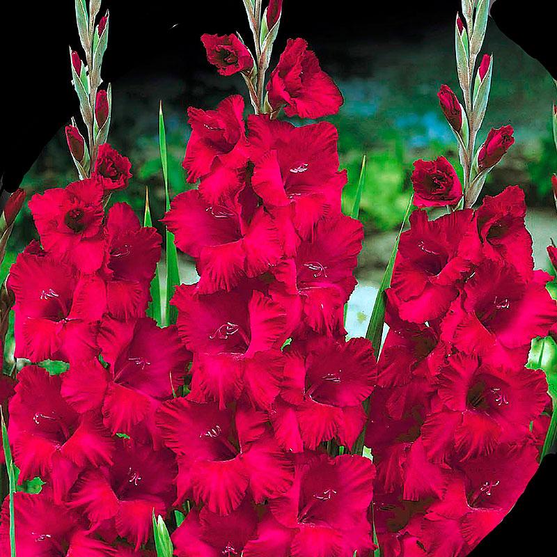 Gladiolus, Plum Tart-Knölar till gladiolus Plum Tart
