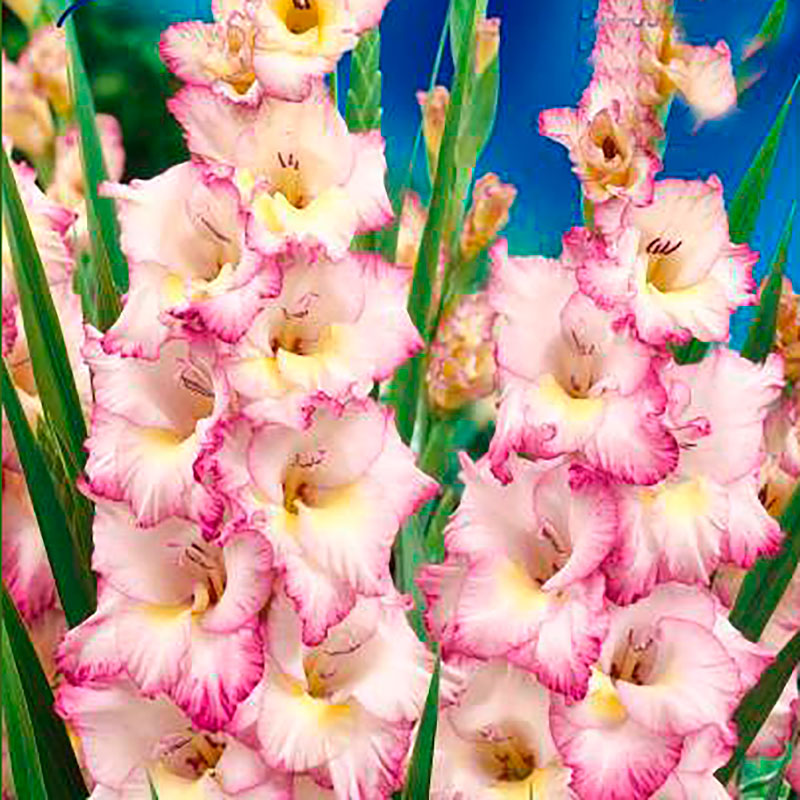 Gladiolus, Pricilla-Knölar till gladiolus Pricilla