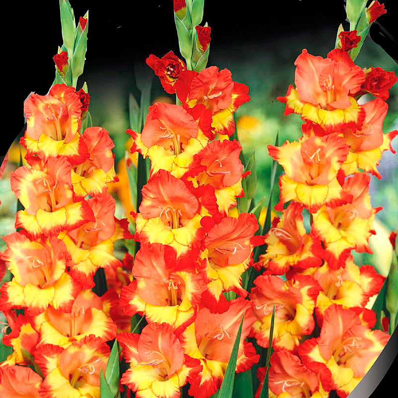 Gladiolus, Princess Margret Rose-Knölar till gladiolus Princess Margret Rose