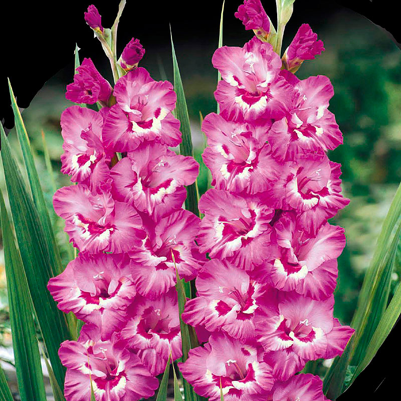 Gladiolus, Tango-Knölar till gladiolus Tango