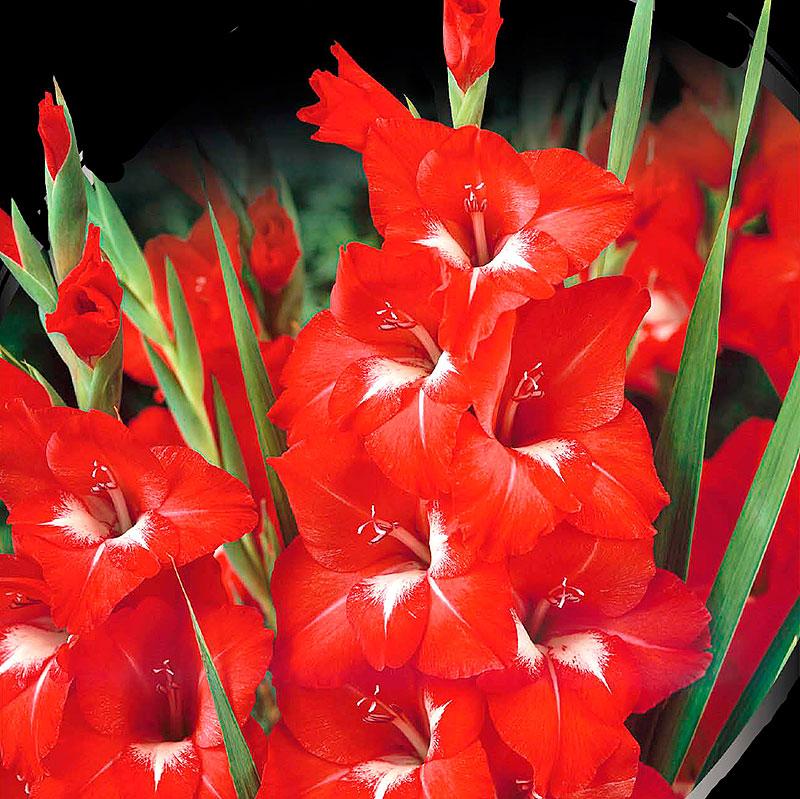Gladiolus, Traderhorn-Knölar till gladiolus Traderhorn