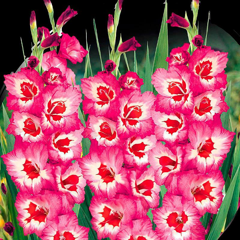 Gladiolus, Vandohla-Knölar till gladiolus Vandohla