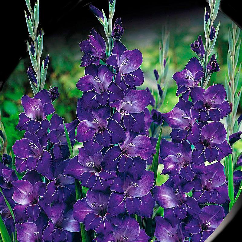 Gladiolus, Violetta-Knölar till gladiolus Violetta