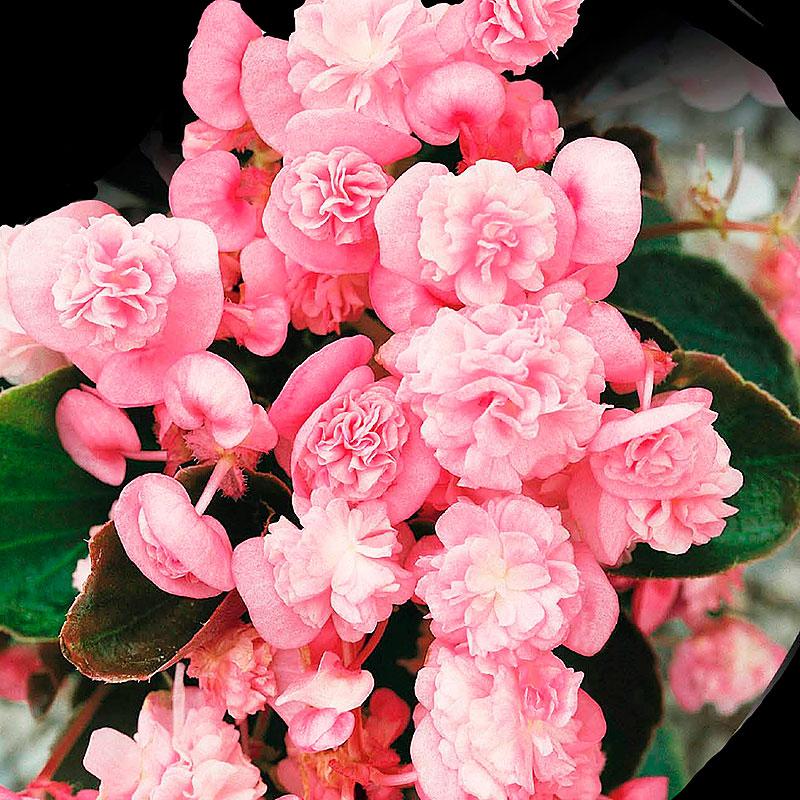 Hängbegonia, Cascade Florence, Begonia pendula cascade