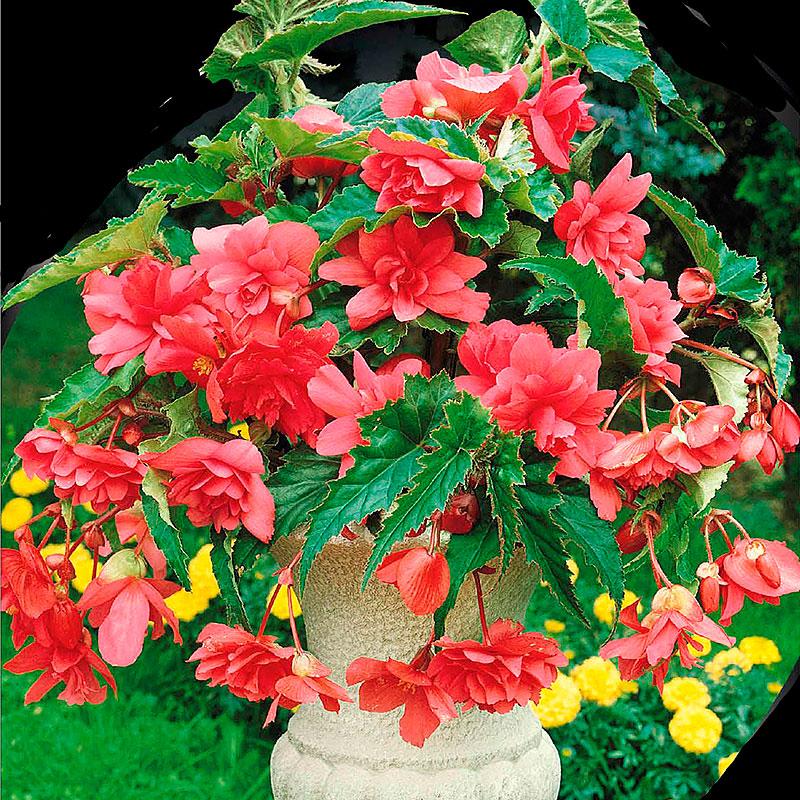 Hängbegonia, Pendula Pink-Begonia pendula cascade