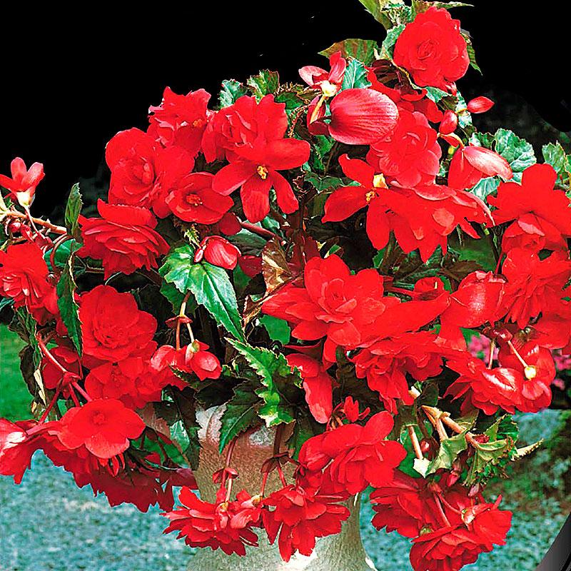 Hängbegonia, Pendula Red, Begonia pendula cascade