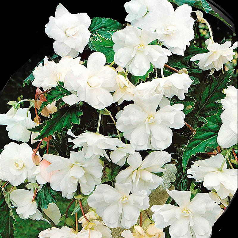 Hängbegonia Pendula White-Begonia pendula cascade