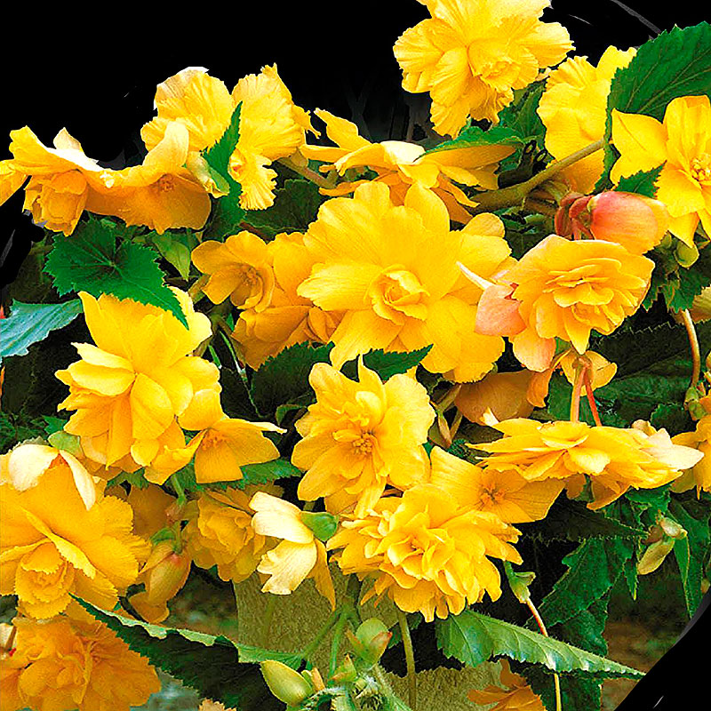 Hängbegonia, Pendula Yellow-Begonia pendula cascade